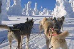 dog sledding Hossa
