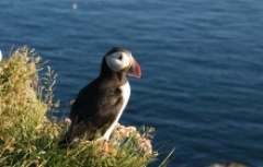cute Icelandic puffin with sea views